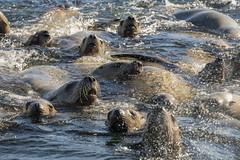 Curious adolescents (tmeallen) Tags: stellerssealions eumetopiasjubatusare curious raftingup splashing exuberant vocalizing campaniaisland marinemammals wildlife britishcolumbia travel remote