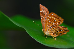 Punchinello -  May 2018 - 2 (Gomen S) Tags: animal wildlife nature nikon d500 hongkong hk china asia tropical 2018 morning macro 105mmmicro butterfly insect forest