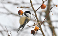 Black-capped Chickadee (Poecile atricapillus) (Kremlken) Tags: chickadees winter fruit feeding pennsylvania birds birding birdwatching nikon500