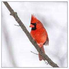 Cardinal (hey its k) Tags: 2019 arboretum birds cardinal cootesparadise male nature rbg snow winter hamilton ontario canada ca imga0054e canon5dmarkiv tamron 150600mm