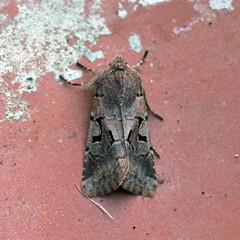 Hebrew Character ... Orthosia gothica (AndyorDij) Tags: andrewdejardin england empingham empinghammoths lepidoptera rutland uk moth insect hebrewcharacter orthosiagothica nationalmothweek noctuidae