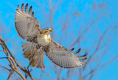 Mighty Wings (Daniel Q Huang) Tags: hawk flight sky winter woods bird raptor sun shine trees