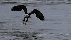 portable sushi (David Sebben) Tags: bald eagle nature bird sushi fish mississippi river davenport iowa