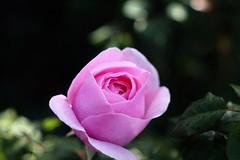 Princes Claire van België      Boyer Onyx  F = 100 (情事針寸II) Tags: クローズアップ 自然 花 薔薇園 薔薇 nature projectionlens closeup bokeh pink fleur flower rosegarden rose boyeronyxf100