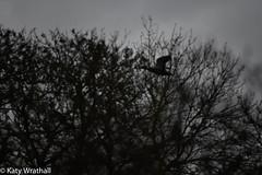 Storm duck (Katy Wrathall) Tags: garden spring england march 36566 eastyorkshire bird drake waterfowl mallard 2019pad 2019 eastriding storm