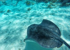 Stingray City (David Reber's Hammer Photography) Tags: stingray stingraycity caymanislands grandcayman snorkel snorkeling diving caribbean georgetown