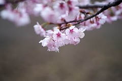 ATAMI Cherry (tez-guitar) Tags: cherry cherryblossom bloom blossom flower spring sakura tamron macro pentax pentaxart