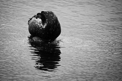 (mgschiavon) Tags: blackandwhite blackwhite bw animal sea california nature
