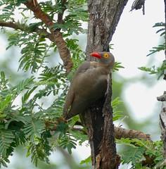 Red-billed Oxpecker (Buphagus erythrorhynchus) (berniedup) Tags: skukuza kruger redbilledoxpecker buphaguserythrorhynchus oxpecker taxonomy:binomial=buphaguserythrorhynchus bird