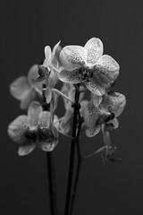 (Ich) mal wieder I (richard.kralicek.wien) Tags: blackandwhite flowers orchids