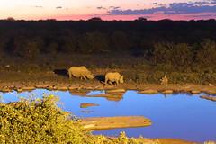 Rhino sunset (Nicolas Rénac) Tags: family white rhinoceros squarelipped keratin reflection waterhole halali camp namibia etosha animal wildlife wild 6d grass namibie africa sunset light