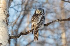 Northern Hawk-owl, Surnia ulula, Sperweruil (Hofman, Roberto) Tags: pasvik norway noorwegen sperweruil canon 7d canon7dmk2 bird birds vogel uil northernhawkowl varanger