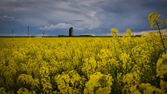 Lleida Airport - Rape fields (raidtxujones) Tags: blooming flower colza lleida spain alguaire aeroport yellow sky clouds rape bloom