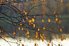 Branches and leaves (Stefano Rugolo) Tags: stefanorugolo pentax k5 pentaxk5 smcpentaxm100mmf28 kmount ricohimaging branches leaves bokeh depthoffield autumn manualfocuslens manualfocus manual vintagelens tree lake countryside
