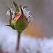 Rosebud in Snow
