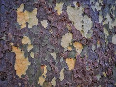 Colours, Patterns and Textures: Plane Tree Trunk. (margaretgeatches) Tags: bark planetree texture cream purple russett olive yellow patterns colours winter