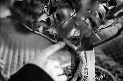 Bonsai (robbiemaynardcreates) Tags: bonsai tree massachusetts emily crozier robbie maynard creates chinese art black white photography ilford fp4 125 minolta xe5 35mm film portrait nature garden greenhouse analog bnw people orange cactus