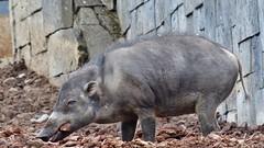 Pairi Daiza (48) (Johnny Cooman) Tags: brugelettecambroncasteau wallonie belgië bel animal dieren natuur ベルギー aaa panasonicdmcfz200 henegouwen hainaut belgium bélgica belgique belgien belgia zoo