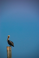 Pelican Profile (~gio~) Tags: florida keys floridabay longkey fiestakeyrvresort pelican piling purple turquoise blue colorful catchycolors