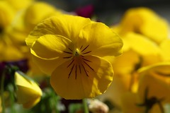 Viola / 菫     Angénieux G10   F:48  1:4 ? (情事針寸II) Tags: クローズアップ 自然 花 yellow bokeh closeup nature fleur flower すみれ viola