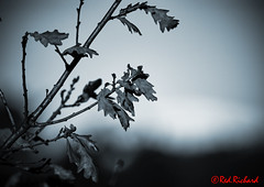 Winter Leaves (red.richard) Tags: leaves winter bokeh closeup bw monochrome light shadow black nikon d800