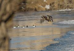 Juvenile Bald Eagle. (Estrada77) Tags: juvenile baldeagle eagle raptors birds birding birdsofprey distinguishedraptors wildlife winter2019 feb2019 foxriver kanecounty outdoors nature nikon nikond500200500mm inflight illinois animals water
