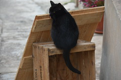 Un gato (esta_ahi) Tags: lleida vallbonadelesmonges urgell lérida spain españa испания gat gato cat felissilvestriscatus