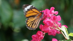 2019-02-11_12-36-02_ILCE-6500_DSC02753 (Miguel Discart (Photos Vrac)) Tags: 2019 202mm animal animalphotography animals animalsupclose animaux butterfly chiangmai e18135mmf3556oss fleurs flowers focallength202mm focallengthin35mmformat202mm holiday ilce6500 iso800 nature naturephotography papillon pet sony sonyilce6500 sonyilce6500e18135mmf3556oss thailand thailande travel vacances voyage