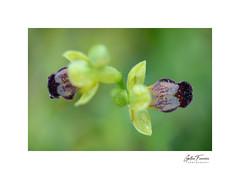 Dew (Ophrys Fusca) (g.femenias) Tags: dew waterdroplets ophrysfusca abellerafosca sabatetesdelbonjesus orchidaceae ophrys wildorchid nature naturallight macro macrophotography bonany petra mallorca
