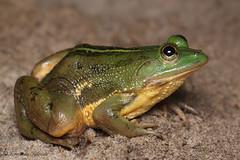 Euphlyctis hexadactylus (Fernando_Iglesias) Tags: pseudophilautus fejervarja duttaphrynus toads polypedates amphibians