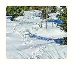 Pupupolku. (Pinelope) Tags: pathwaypolku bunnies pupu metsäforest finland lumisnow