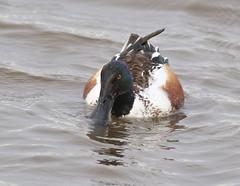 F_032019g (Eric C. Reuter) Tags: birds birding nature wildlife nj forsythe refuge nwr oceanville brigantine march 2019 032019