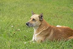 Patient listener (ucrainis) Tags: dog animal concert lying pet autumn grass green orange