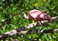 Colhereiro rosa / Roseate Spoonbill (anacm.silva) Tags: roseatespoonbill ave colhereiro bird wild wildlife nature natureza naturaleza birds aves tárcolesriver costarica plataleaajaja coth5