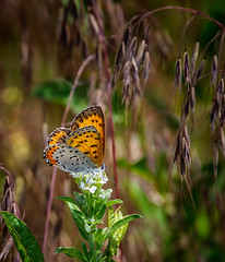 Flower Powered (Portraying Life, LLC) Tags: michigan unitedstates pentax ricoh butterfly handheld closecrop nativelighting meadow da3004 k1 hd14tc topazaiclear nectar flower wild