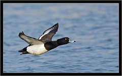 TUFTED DUCK { m } (PHOTOGRAPHY STARTS WITH P.H.) Tags: tufted duck drake radipole weymouth dorset nikon d500 500mm afs vr gitzo mk5 wimberley wh200 gimbal 14 teleconverter