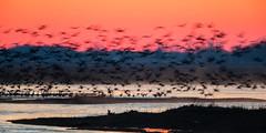 Morning Blur (jeff_a_goldberg) Tags: platteriver gruscanadensis spring wildlife sunrise kearney bif crane bird fortkearnystaterecreationarea centralplatterivervalley silhouette sandhillcrane birdinflight nebraska nature gibbon unitedstatesofamerica us