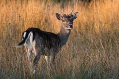 Fallow Deer Dama dama Buck (Barbara Evans 7) Tags: fallow deer dama buck new forest uk barbara evans7