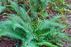 Peak Hill-1-6 (Sheptonian) Tags: somerset rural scenic landscape trees fauna grassland