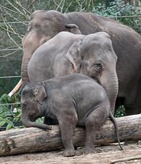 asiatic elephant Nicolai, Yindee and sanuk 094A0225 (j.a.kok) Tags: olifant asiaticelephant aziatischeolifant animal artis asia ape elephant mammal zoogdier dier nicolai sanuk