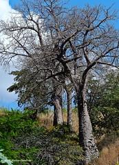 02_Simien-Axum road baobab (maccdc) Tags: ethiopia aksum axum road simien baobab tree