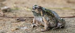 Scaphiophryne brevis in habitat, Arboretum d'Antsokay, Madagascar (Brad Wilson, DVM) Tags: scaphiophrynebrevis habitat arboretumdantsokay madagascar frog rainfrog burrowingfrog microhylidae amphibian