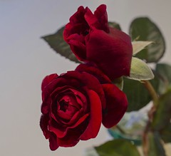 DOS ROJOS (ACEZandEIGHTZ) Tags: red roses flowers valentinesday nikon d3200 bokeh whitebackground floral leaves two garden blooms thebestofmimamorsgroups