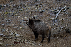 vigilant wild sow (peter.vrab2) Tags: look scrofa monster brown one hunt nature predator european tusk outdoor risk wild creature male animal meat feed standing environment nose wildlife danger pork dangerous forest pig boar piggy fear sus mammal attack