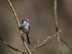 Long-Tailed Tit -8501304 (seandarcy2) Tags: tit longtailed wild handheld birds wildlife nature nestbuilding