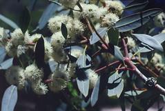 Eucalyptus conglobata, Kings Park, Perth, WA, 22/12/94 (Russell Cumming) Tags: plant eucalyptus eucalyptusconglobata myrtaceae kingspark perth westernaustralia