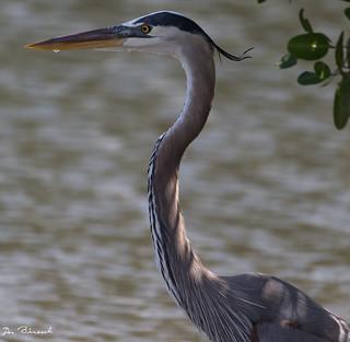 Great Blue Heron-Emerson Preserve Palmetto Florida