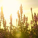 Arizona Lupine at Sunrise