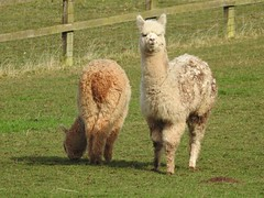 Alpacas (Simply Sharon !) Tags: alpaca cliftonalpacas animals farmanimals