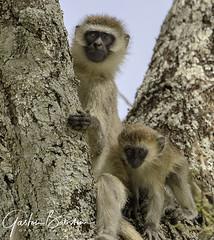 Tarangire National Park, South Serengeti, Tanzania (Gaston Batistini) Tags: tarangire national park south serengeti tanzania batistini gbatistini canon 5dsr